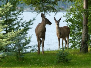deer-212737_1280