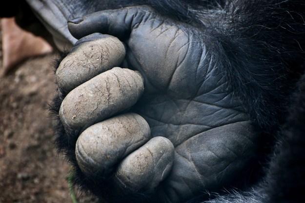 gorilla-1132784_1280