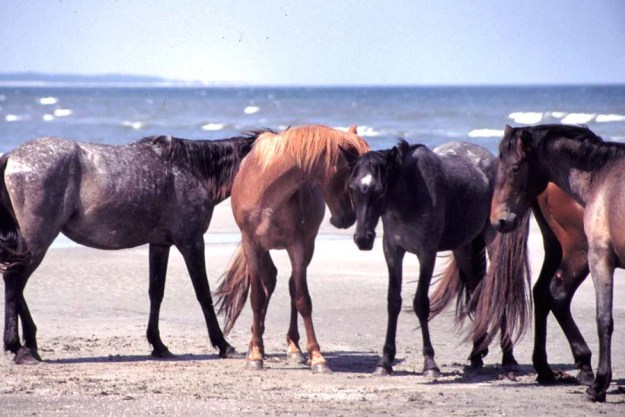 Wild horses on Cumberland Island, Georgia.