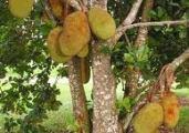 Jamur Blue Stain dan Kerusakan yang Diakibatkan : Jenis Kayu Bergetah Seperti Dari Pohon Nangka Rentan Terkena Jamur Blue Stain.