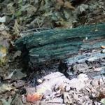 Memberikan Penangan Tepat Sasaran dari Mengenal Jenis Jamur yang Menyerang Permukaan kayu : Jamur Blue Stain