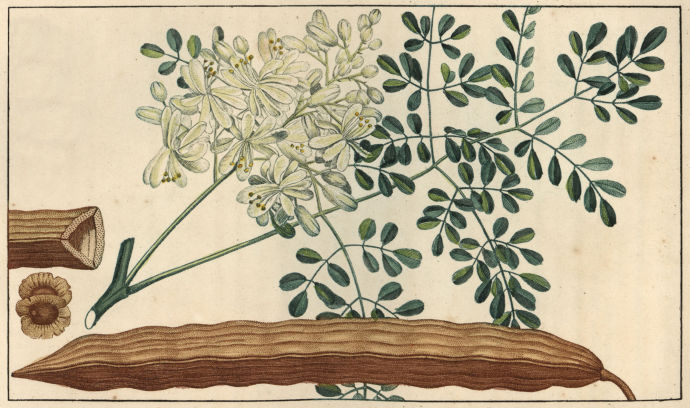 Moringa oleifera, from a drawing by Pierre Jean-Francois Turpin, 1830. Some hope the tree could become a staple food source in dry tropical regions. Photograph by Florilegius / SSPL / Getty