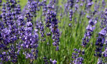lavender_196970