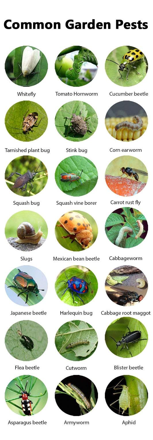 Large Of Sage Pest Control