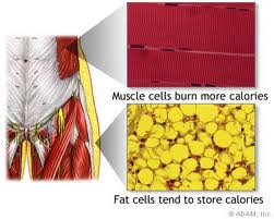 muscle burns more calories