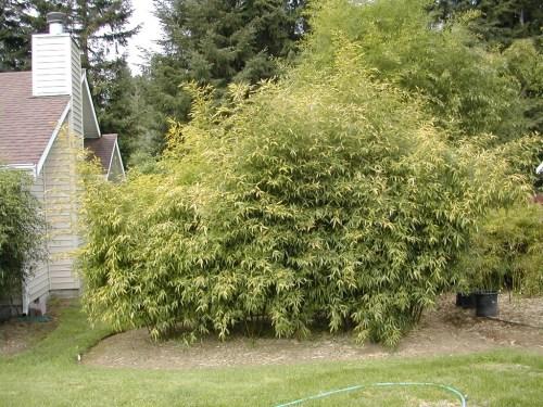 Medium Of How To Transplant Bamboo