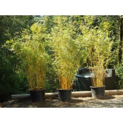 Small Crop Of Alphonse Karr Bamboo