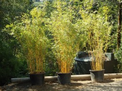 Amazing Bambusa Multiplex Bambusa Multiplex Bmpa Bamboo Sourcery Nursery Alphonse Karr Bamboo Price Alphonse Karr Bamboo Size