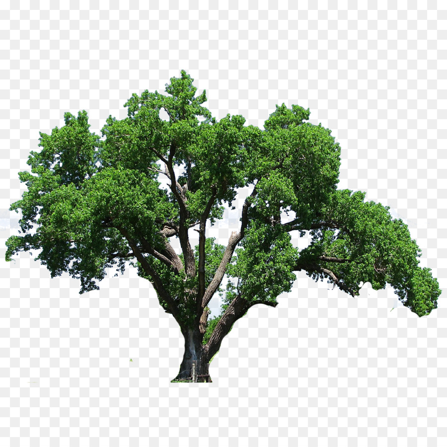 Magnificent Sale Sale Sourn Live Oak Wood Sourn Live Oak Tree Flowering Dogwood Clip Art Tree Sourn Live Oak Tree Flowering Dogwood Clip Art Tree Png Sourn Live Oak houzz 01 Southern Live Oak