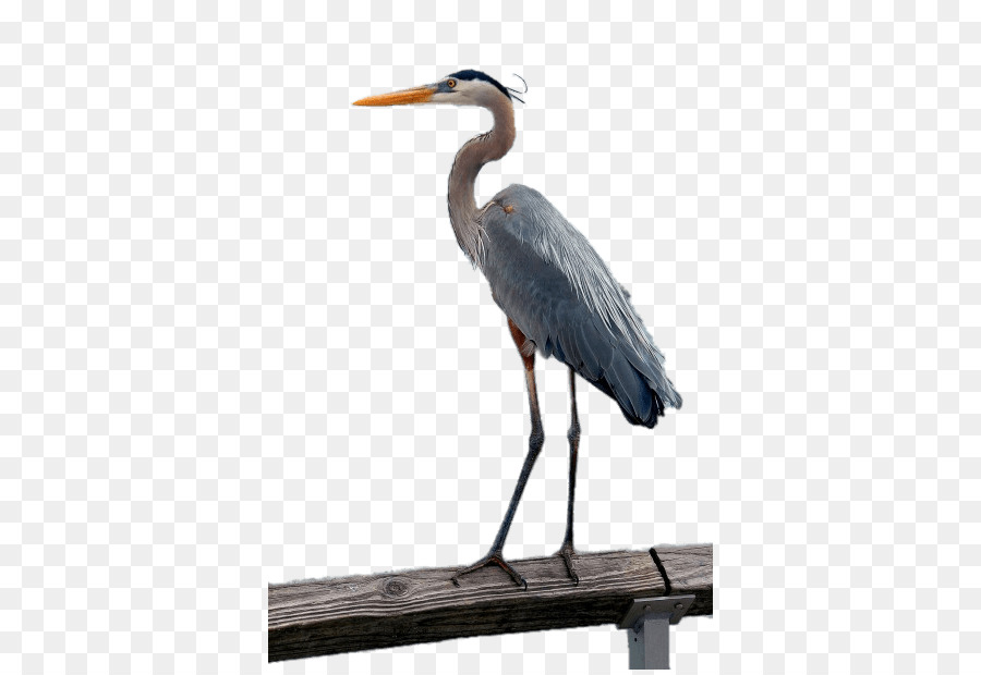 Bird Crane Great blue heron Grey heron Little blue heron   Bird png     Bird Crane Great blue heron Grey heron Little blue heron   Bird