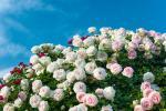 京成バラ園 のバラの見ごろやバラまつりとバラ園情報
