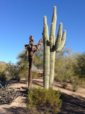 Healthy and dying saguaro