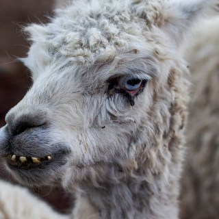 A Face Only a Llama Mother Could Love