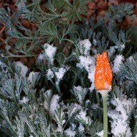 Poppies With Ice