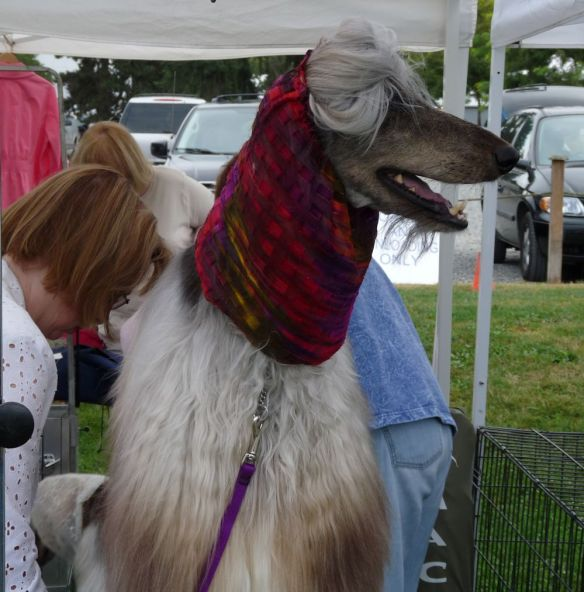 Afghan hound, dog show, dog grooming, sighthound, gazehound