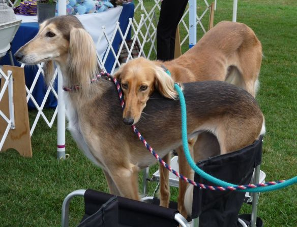 saluki, female saluki, dog show, litter mates,