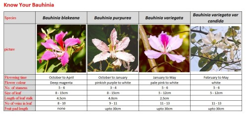 Bauhinia identification guide