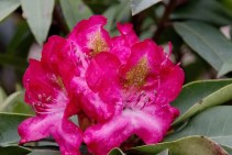 Rhododendron Jugendliebe