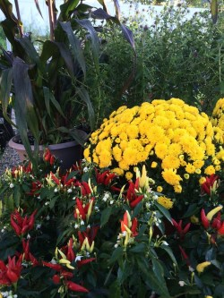 Small Of Are Mums Perennials