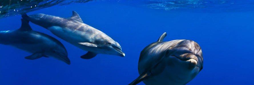 scuba-dolphins