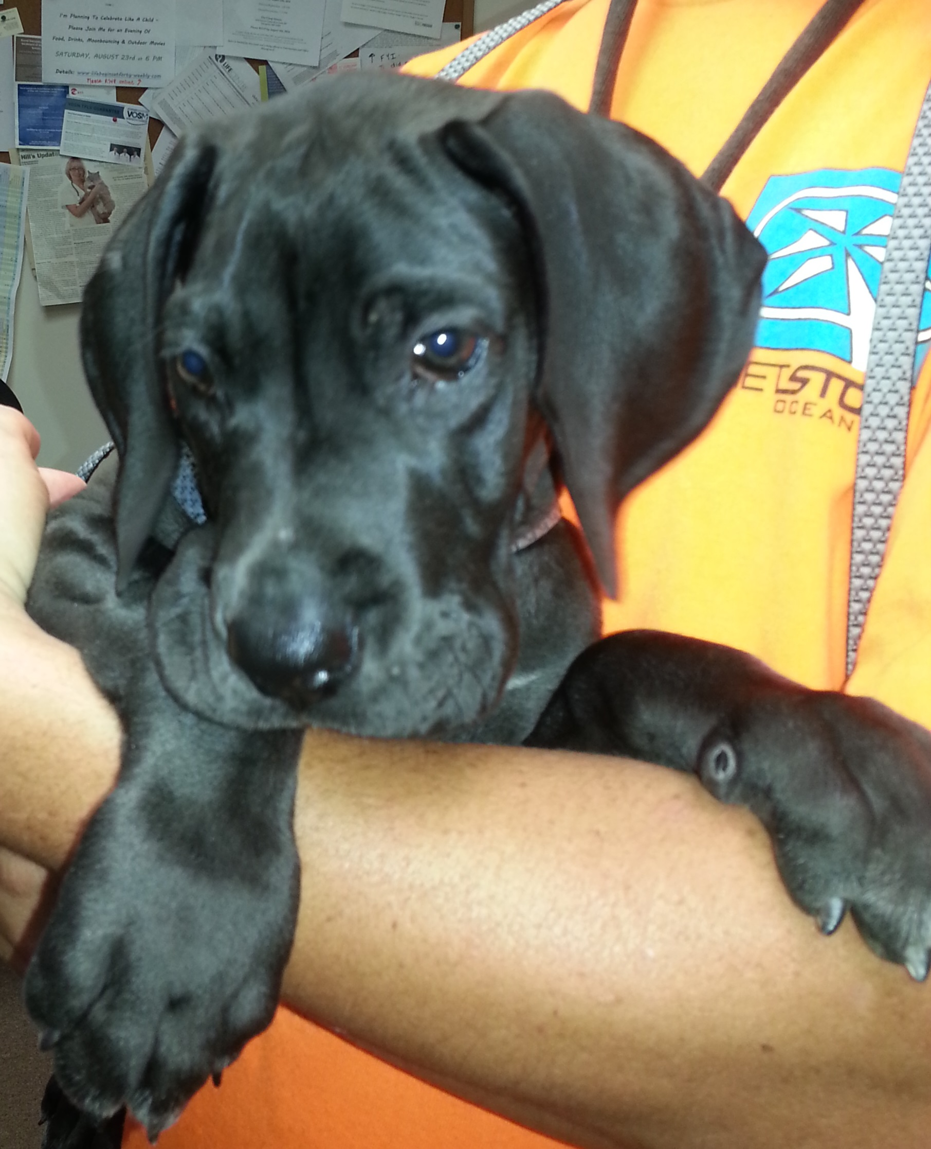 Great Dane Puppy
