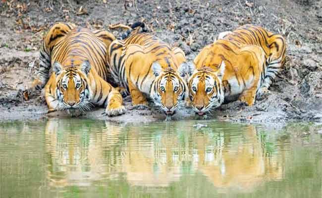 royal-bengal-tiger+
