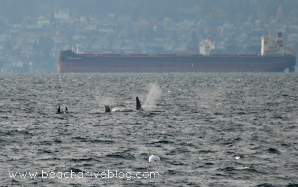 orcas Nov 10 2015