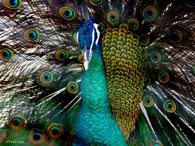White Peacock Wallpapers | Beautiful Cool Wallpapers