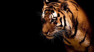 HD Tiger Wallpapers ~ PAK MOBILE GHAR
