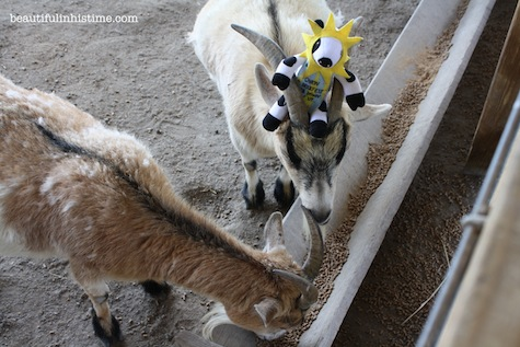 cow goats