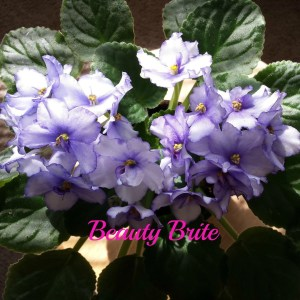 Beauty Brite African Violet Blooms