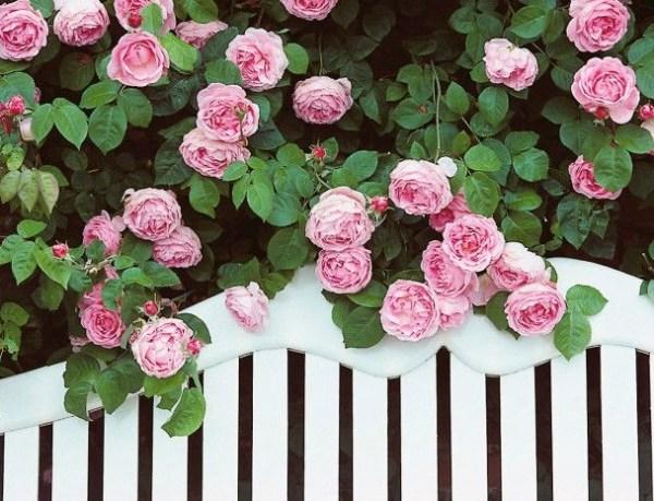 Rosa-Nobile-profumo-Acqua-di-Parma-rosa