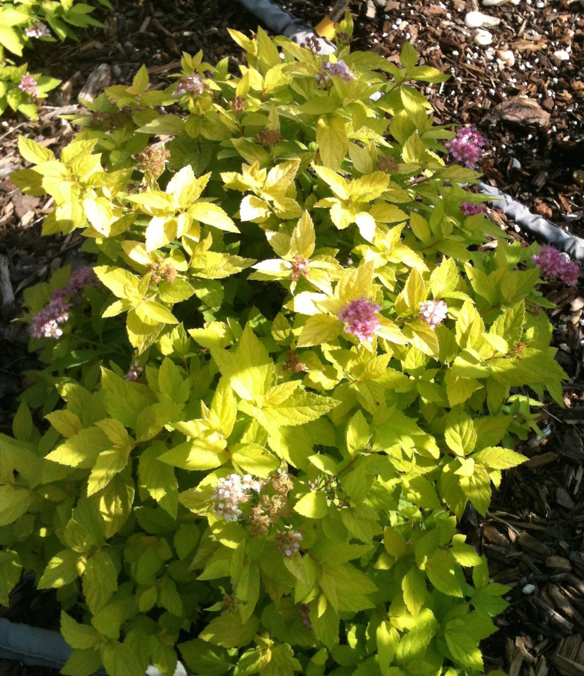 Fullsize Of Neon Flash Spirea