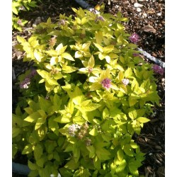 Small Crop Of Neon Flash Spirea