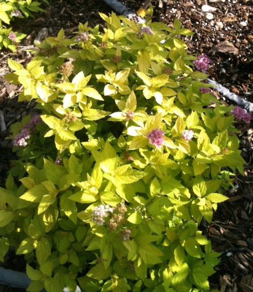 Medium Of Neon Flash Spirea