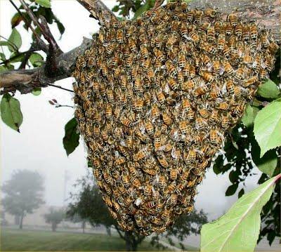 أنواع طرود النحل و أشكالها وطريقة خروجها و الأسباب الدافعة لها