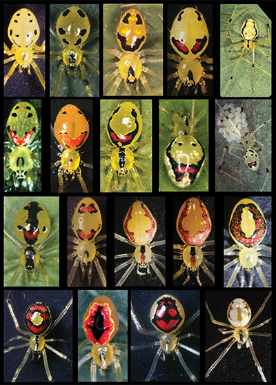 Color morphs of the Hawaiian happy-face spider. (Credit: Rosemary Gillespie)