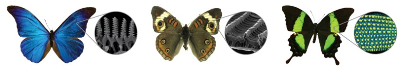 The nanoscale architecture of some butterfliesí wings creates vibrant colors. The scales of blue morpho (left) and buckeye (center) butterflies are layered and patterned with nanostructures made of chitin that interact with light, cancelling out some colors and amplifying others. For the emerald swallowtail (right), a combination of nanostructures—one that reflects yellow light and another that reflects blue—leads to a brilliant green color.