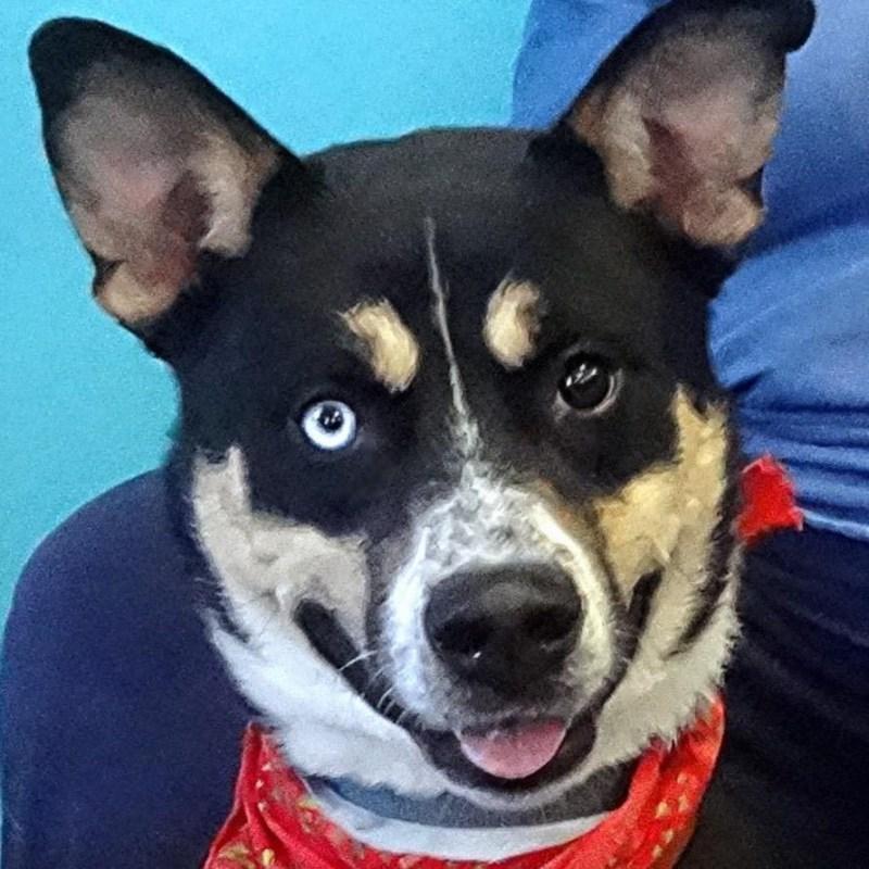 Large Of Husky Beagle Mix