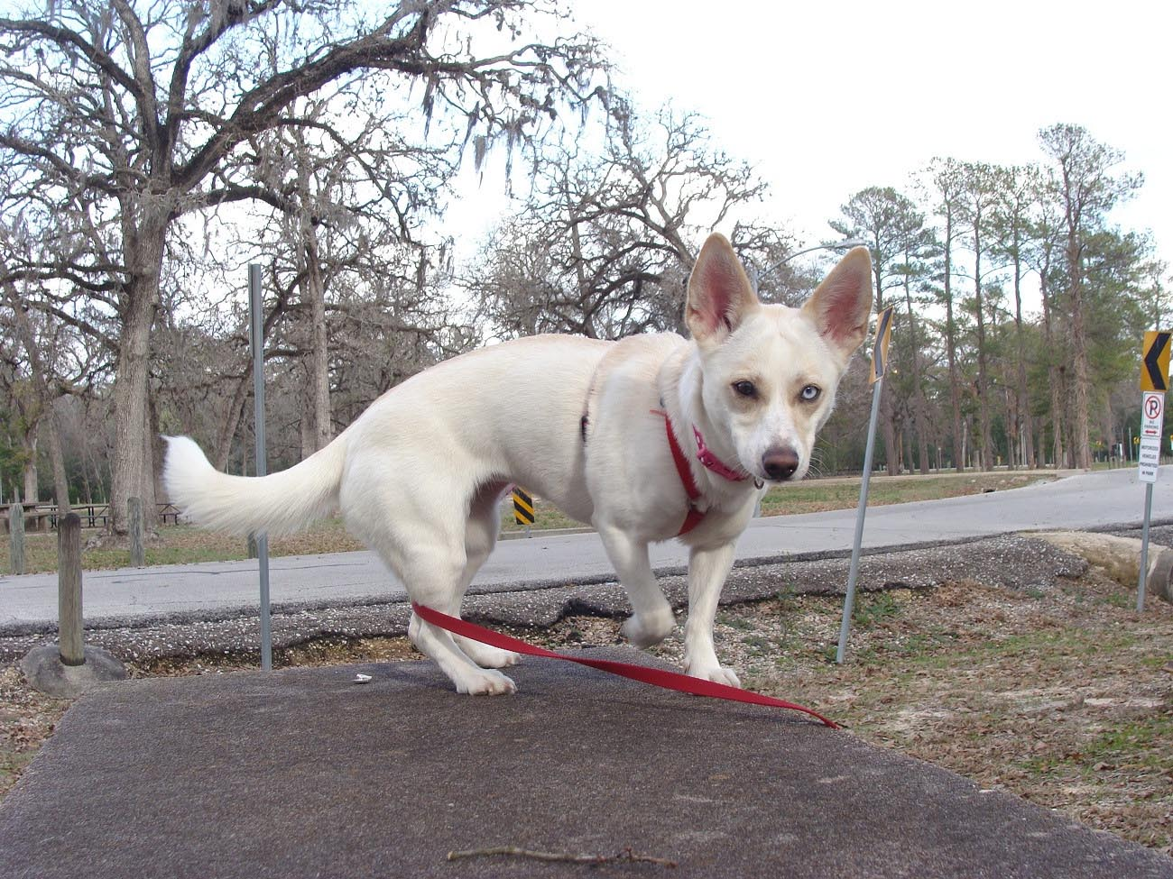 Diverting Half Chihuahua Half Husky Chihuahua Husky Mix As An Dog Breed Dog Breed Information Chihuahua Husky Mix Dog Chihuahua Husky Mix Price bark post Chihuahua Husky Mix