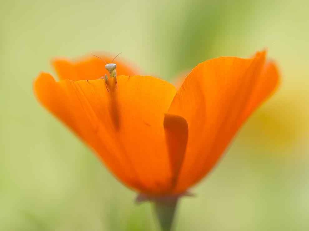 mantis-larva-flower_61074_990x742