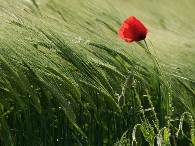 poppy-field-geneva_33994_990x742