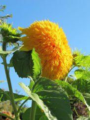 Sunflower in Claude Monet's garden.
