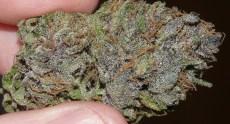 Purple OG Kush (click for larger)