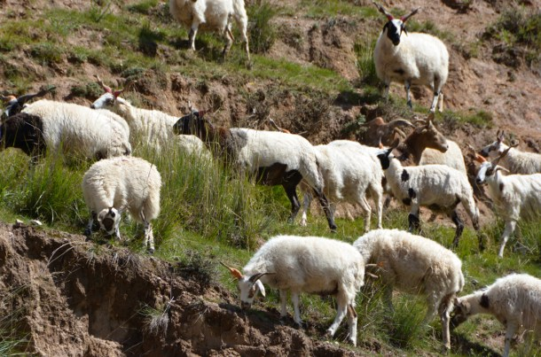 Tibetan sheep go about their day.