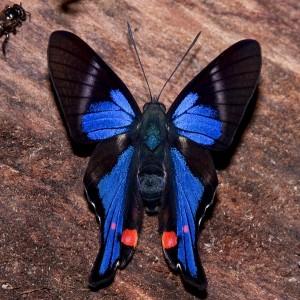 13b-rhetus-periander-male