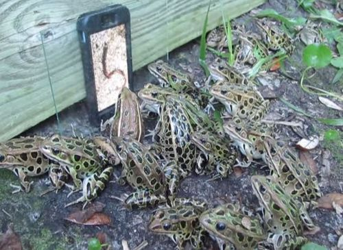 iPhone 6 Tricks Army of Frogs Into Fighting Each Other over HD Worms Playing on Screen