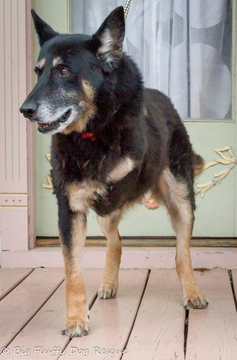 Peachy Sir Arthur Dane Sir Arthur Dane Big Fluffy Dog Rescue Big Fluffy Dog Rescue Floyd Big Fluffy Dog Breeds bark post Big Fluffy Dog