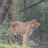 Royal Bengal Tiger at Darjeeling Zoo (India)
