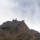 Roaming Ibex (KKH, Pakistan)